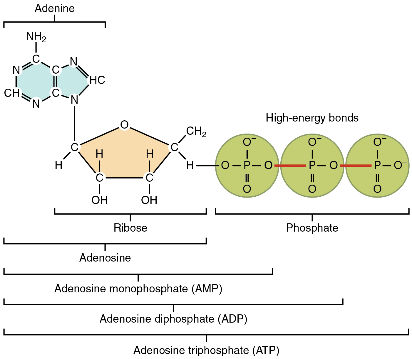 Organic Compounds Essential To Human Functioning Animal Cell Diagram Labeled Driverlayer Search Engine This Figure Shows The Structure Of Atp
