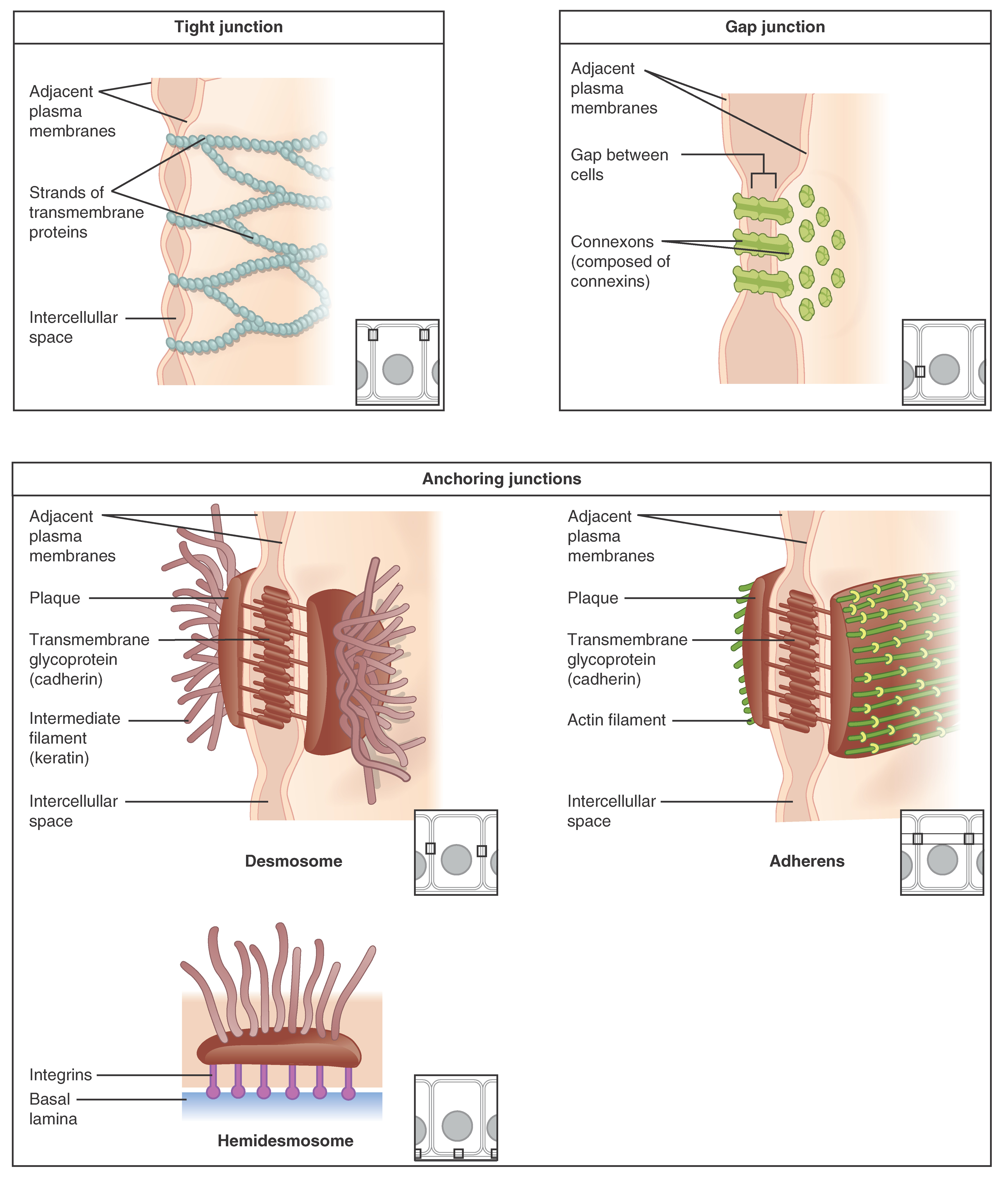 worksheet Epithelial Tissue Worksheet epithelial tissue these three illustrations each show the edges of two vertical cell membranes membranes