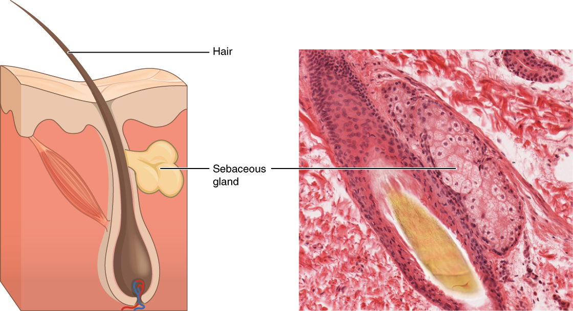 Image A Depicts A Cross Section Of The Skin Layers  The