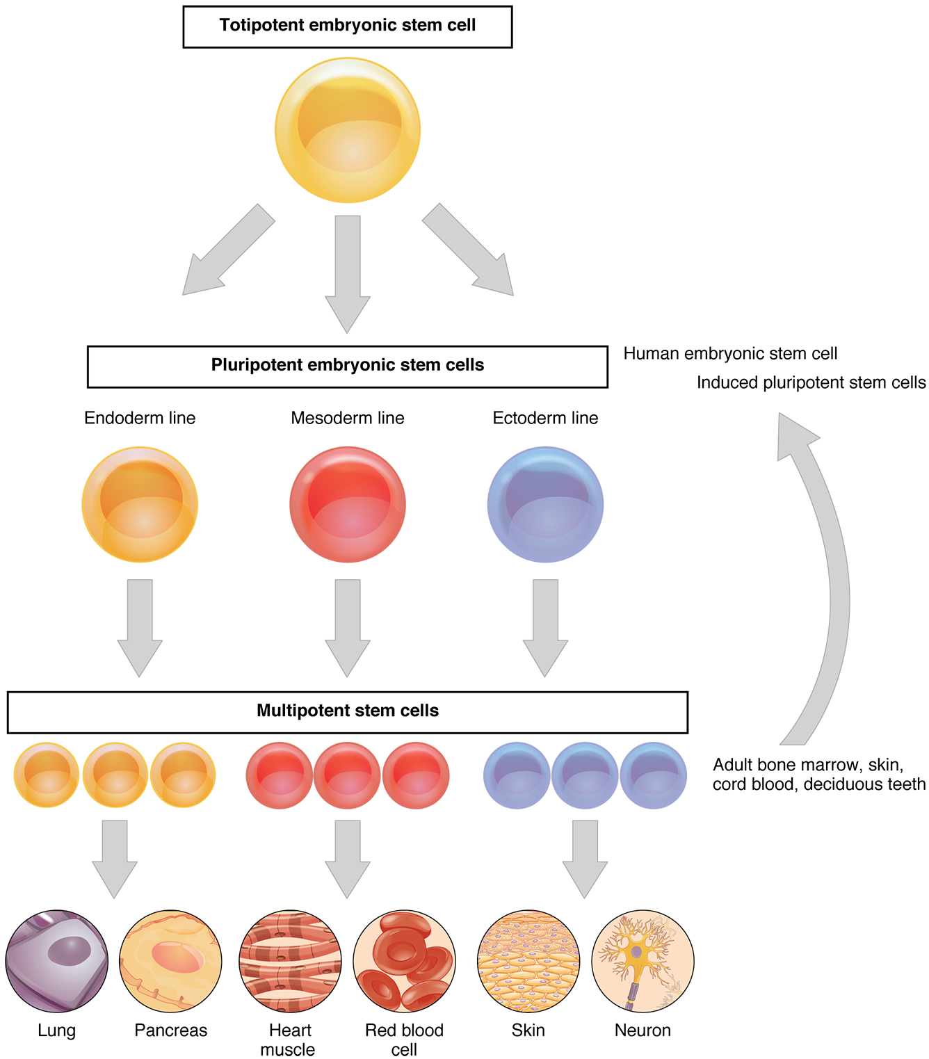 Cellular differentiation this flow chart shows the differentiation of stem cells into different cell types the top ccuart Images