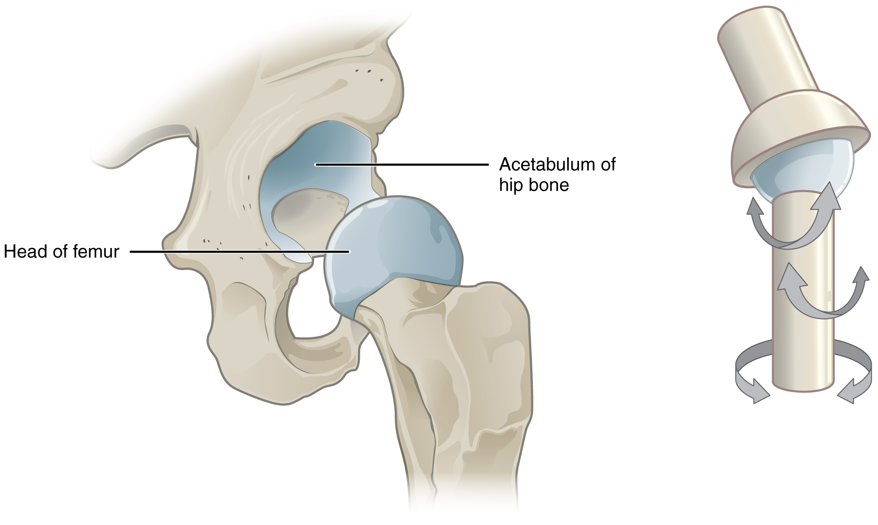 Synchondrosis Joint Location – Where the connecting medium is hyaline cartilage, a cartilaginous joint is termed a synchondrosis.