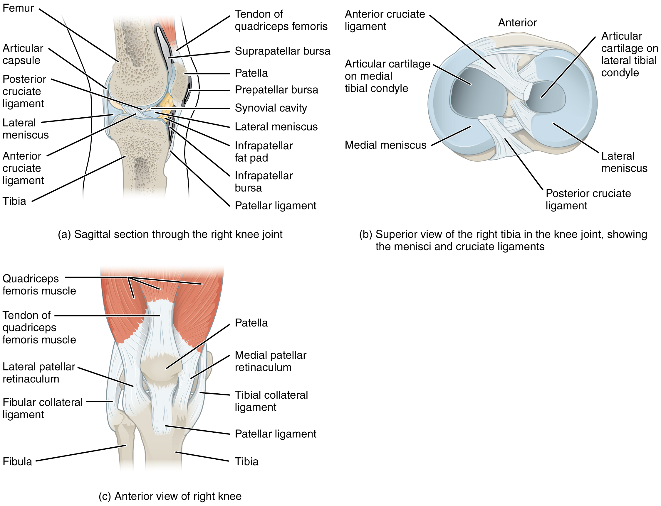 Anatomy Of Selected Synovial Joints